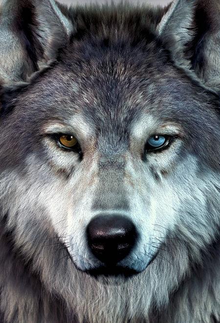 Massimorighi heterochromia wolf 13e046e6 lhmv