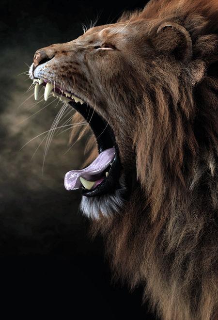 Massimorighi yawning lion color v 906ddb3f l2bg