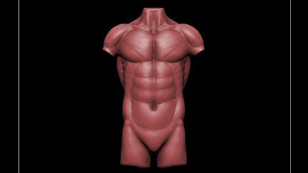 Anatomy Studies (Torso)
