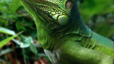 Green Iguana (Dong808'works)