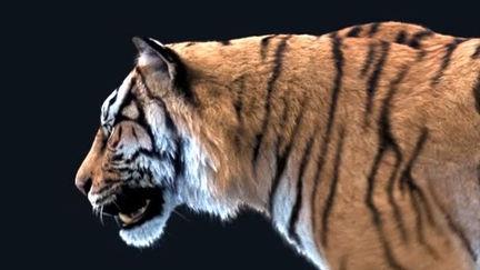 Tiger walk loop test