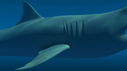 Carcharodon Carcharias (Great White Shark)