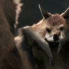 Pelted Fox